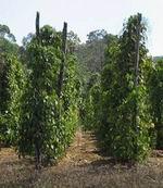 Pepper Plantations